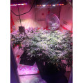 Cadena de margaritas 1200W LED Grow Light para plantar