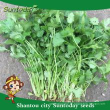Suntoday nombres científicos de verduras F1 planta de agua orgánica extracto de Rusia orgánica en la India bulgaria cilantro semilla (A43001)