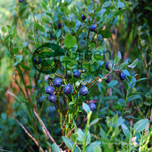 High Quality IQF Frozen Wild Blueberry