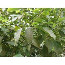 Reines Ho Leaf ätherisches Öl 10ml
