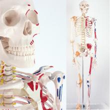 SKELETON08 (12369) медицинские науки сущность жизни Размер 170см скелет с помощью мышц и связок, модели 170см скелет