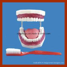 Modèles d'éducation Modèle de soins dentaires au brossage dentaire