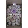 5.0cm Purple Чеснок (коробка 10kg)