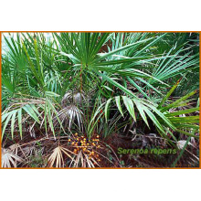Saw Palmetto Extract, Lemon Balm Extract & Black Cohosh Extract