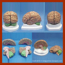 4 parties Anatomie du cerveau Mode / anatomie Modèle de cerveau / modèle de cerveau pour l'enseignement médical