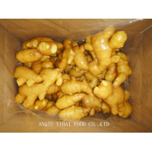 Professional Exporting Ginger Fresh / Air Dry Ginger