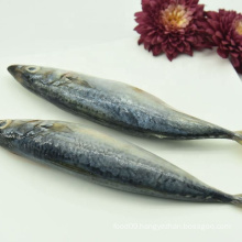 Seafood Frozen Fresh Pacific Mackerel Fish Wholesale