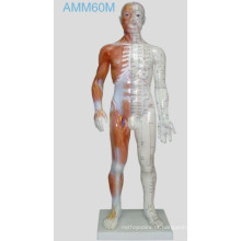 Acupuntura Modelo Humano 55cm