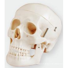 La simulation de modèle de crâne se compose de trois parties de la taille de vie