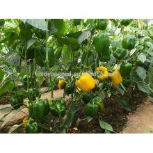 SP25 Jinkou f1 sementes de pimentão amarelo híbrido capsicum sementes