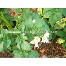 Liefern 2012 frische kartoffel