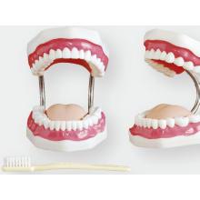 Modèle de soins dentaires (32 dents)