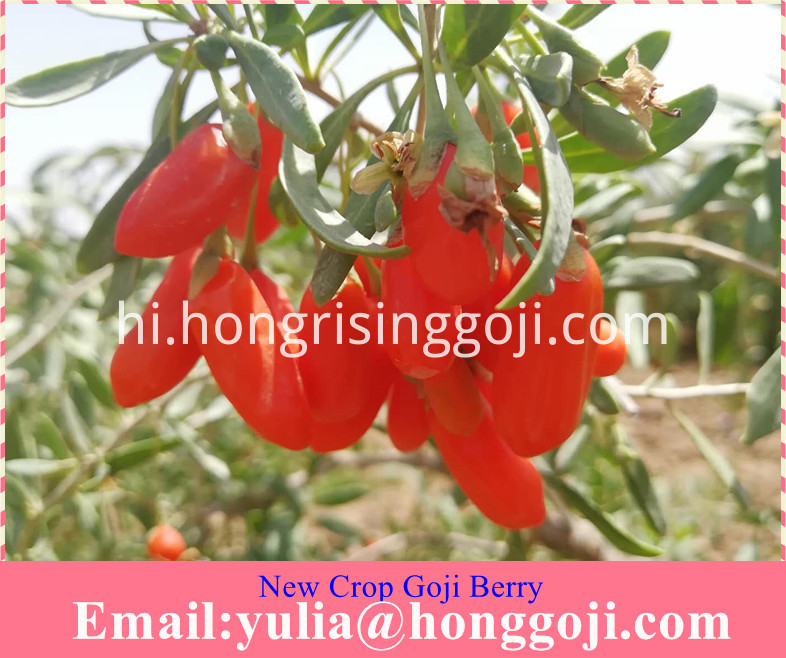 New Crop Goji Berry
