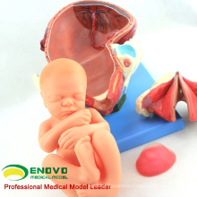 SELL 12470 Human Childbirth Delivery Procedure Anatomy Model Consists