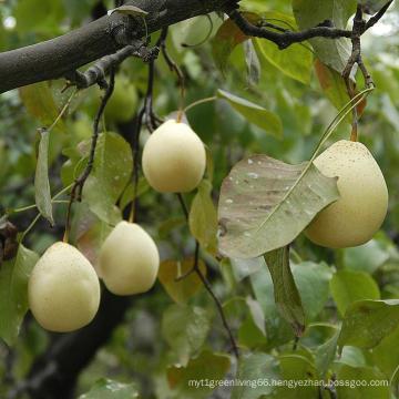 Fresh Ya Pear Wholesale Price