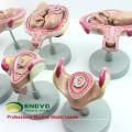 ANATOMY12 (12450) Klassischer Schwangerschafts-8-Modellreihen-Satz, Anatomie-Frauen-Schwangerschafts-Modelle 12450