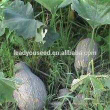 MPU14 Baguo semillas híbridas de calabaza dulce de color amarillo para plantar