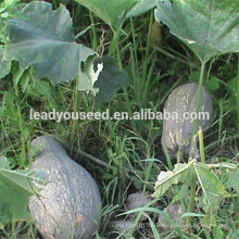 MPU14 Baguo yellow color hybrid sweet pumpkin seeds for planting