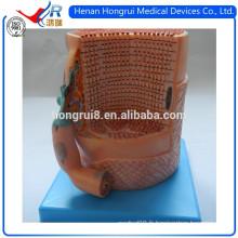 Modèle de fibres musculaires squelettiques de l'anatomie ISO avec plaque de moteur