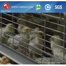 H-Typ Chicken Layer Cage für Broiler mit automatischen Systemen