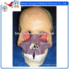 Modèle de crâne de luxe ISO Deluxe, modèle de crâne coloré