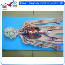 Modèle anatomique ISO du système de circulation sanguine
