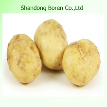 Fresh Potato with Mesh Bag or Carton for Sale