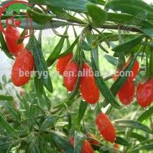 Farm Supply Goji berries Ningxia origin