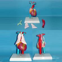 Modèle d'anatomie médicale des artères et des veines cardiaques (R130103)