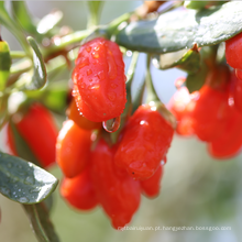 China fornecer sol seco orgânico goji bagas frutas