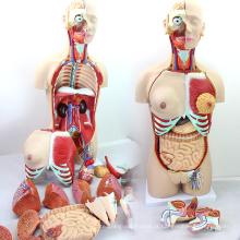 TORSO04 (12015) Modelo de Tronco Duplo-Sexo Deluxe de Ciência Médica 85 cm com Parte Traseira Aberta, 29 partes, Modelo de Anatomia Humana para a Escola