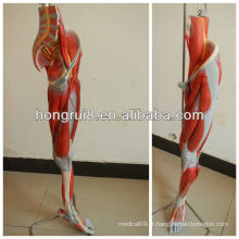 Modèle anatomoïde Deluxe Deluxe des muscles des jambes avec les principaux navires et nerfs