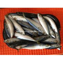 Малая спецификация Замороженная рыба тихоокеанской скумбрии