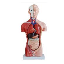 Modèle anatomique de torse mâle de 42 cm (13 parties), modèle de torse humain