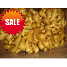 Export New Crop Good Quality Fresh Ginger