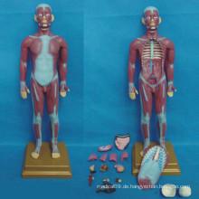 Menschliches medizinisches anatomisches Muskelsystemmodell (R030111)