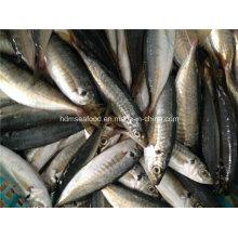 Замороженная рыба из скумбрии высокого качества
