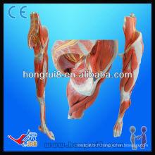 Modèle musculaire ISO, anatomie Muscles des jambes avec les principaux navires et nerfs