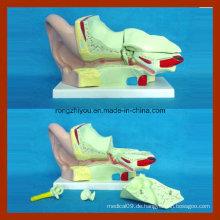 4 mal menschliches großes Ohr anatomisches Modell (4 Stück)