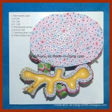 Menschliches Pankreas-Zellenmodell für medizinische Lehre