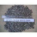 New Crop Sunflower Seeds From Shandong Guanghua Agricultural