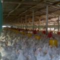 Animal Feed Grade Methionine-Zinc Chelate