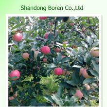 Frische Gala Apfel von Shandong China