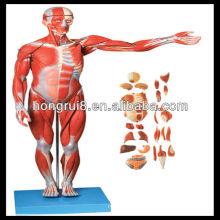 ISO Músculos do homem com órgão interno, modelo de anatomia dos músculos
