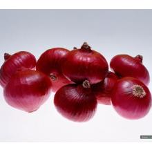 Nova safra de alta qualidade para exportar cebola vermelha