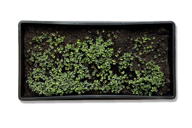 MicroGreens-tray-with holes-top