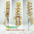 VERTEBRA01 (12384) Life-size Human Lumbar Vertebrae with Sacrum, Lumbar Spinal Column Model for Medical Science