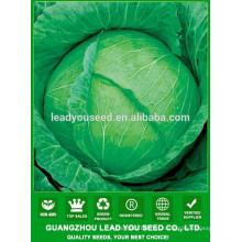 NC39 Biande chinês sementes de repolho verde plana, qualidade sementes de repolho