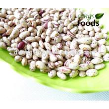 frische Schälbohnen, Cranberry-Typ, neue Ernte
