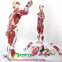 MUSCLE01(12023) пронумерованы 78см высокие анатомические модели человека мускулистая фигура, 27-части, 1/2 Размер жизни 12023